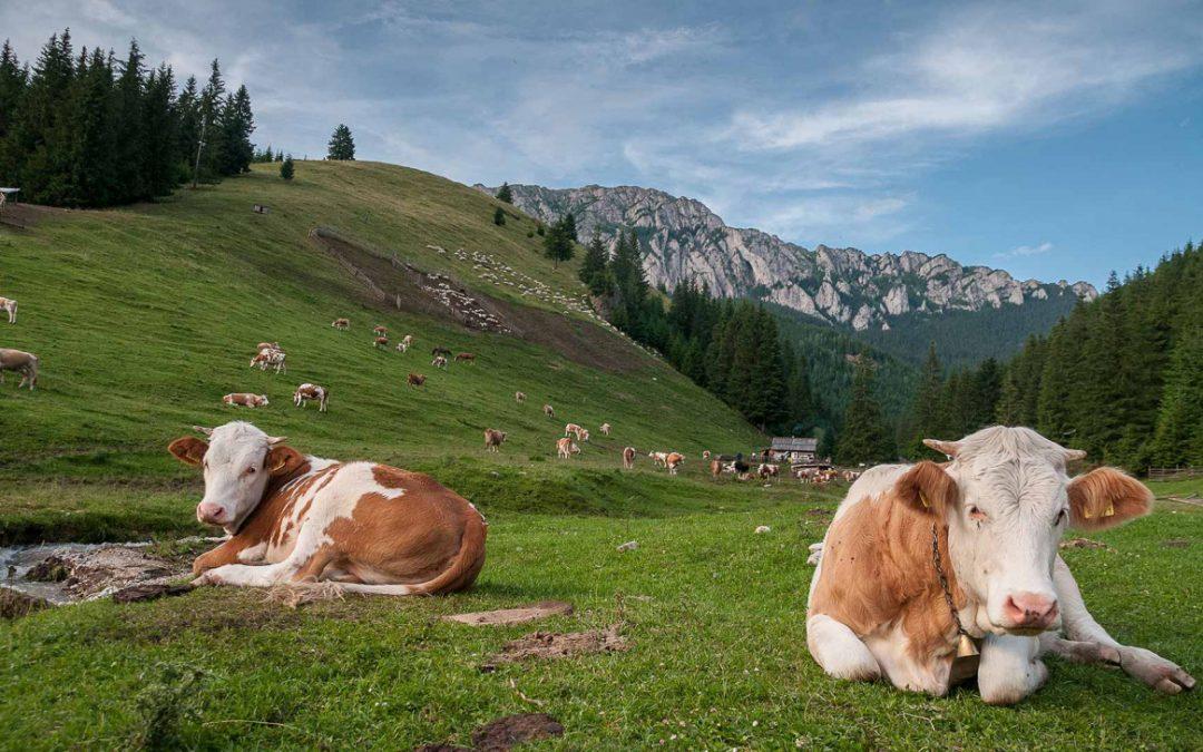 A legelőtől a manufaktúráig – így lesz a tej sajttá